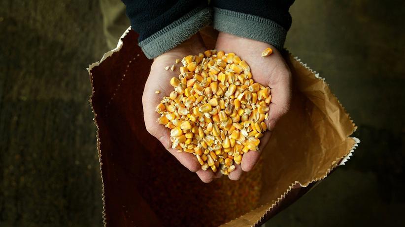 MON 810: Gelb, klein und ein Fall für Gericht: Eine Handvoll Mais der genveränderten Sorte MON 810