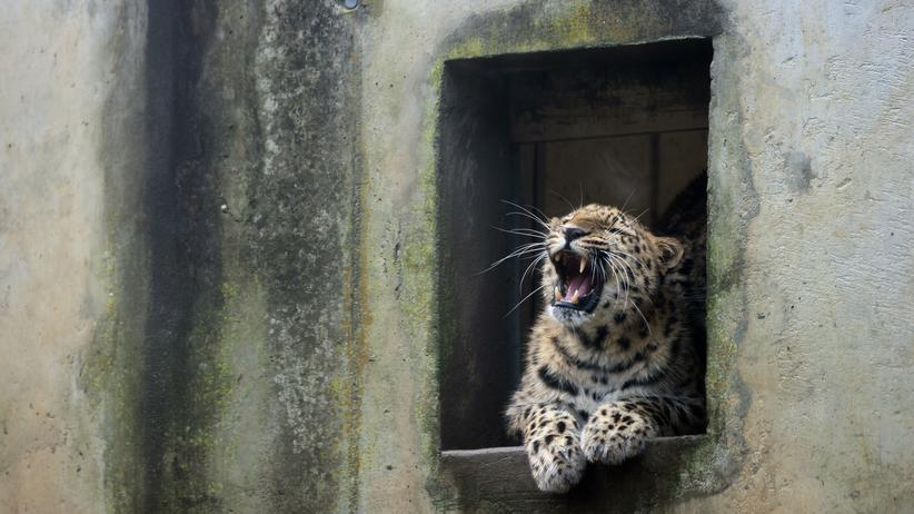 Artensterben: Amur-Leoparden sind die seltenste Leopardenart der Welt. Sie leben in Russland und Nordchina. Können wir sie bald nur noch so wie hier  – in einem Zoo – bestaunen?