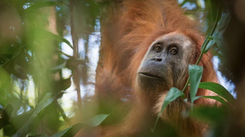 Sumatra: Neu entdeckte Orang-Utan-Gruppe ist eine eigene Art