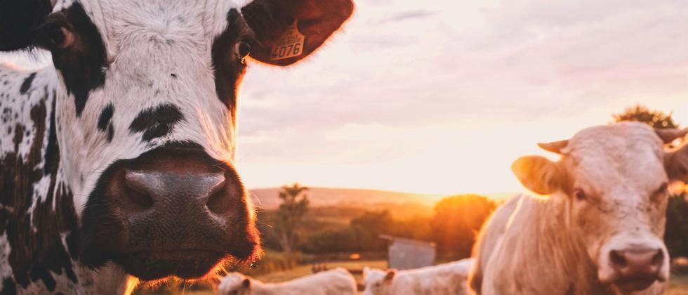 umweltbewusstsein-landwirtschaft-konsum-verbraucher-kuh