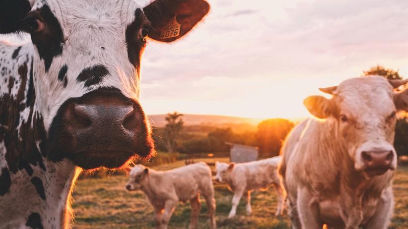 Umweltbewusstsein: Warum nicht auf dem Milchkarton angeben, wieviele Tage die Kuh mindestens auf der Weide war?