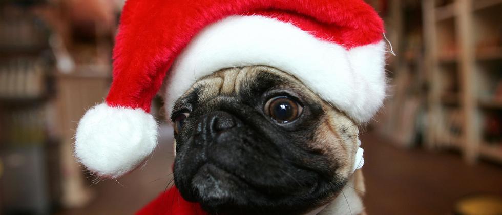 Hund Schokolade Vergiftung Mops Weihnachten