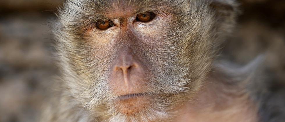 Affenversuche Affen Tierversuche Makaken Javaneraffe Langschwanzmakake