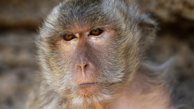 Abgasversuche mit Affen: Dürfen die das?
