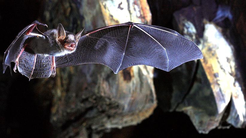 Fledermäuse: Verkeimt durch die Nacht