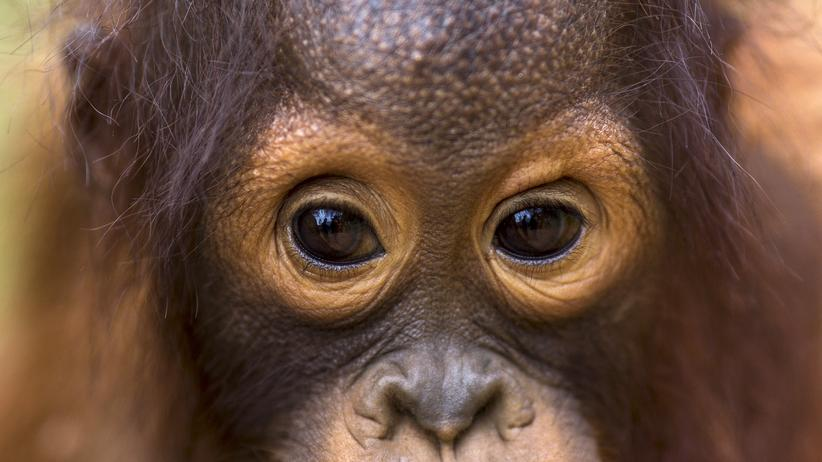 Orang-Utans: Ein zwei Jahre altes Orang-Utan-Junges in einer Schutzstation