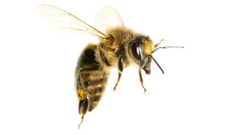 Bienensterben: Drohne Maja
