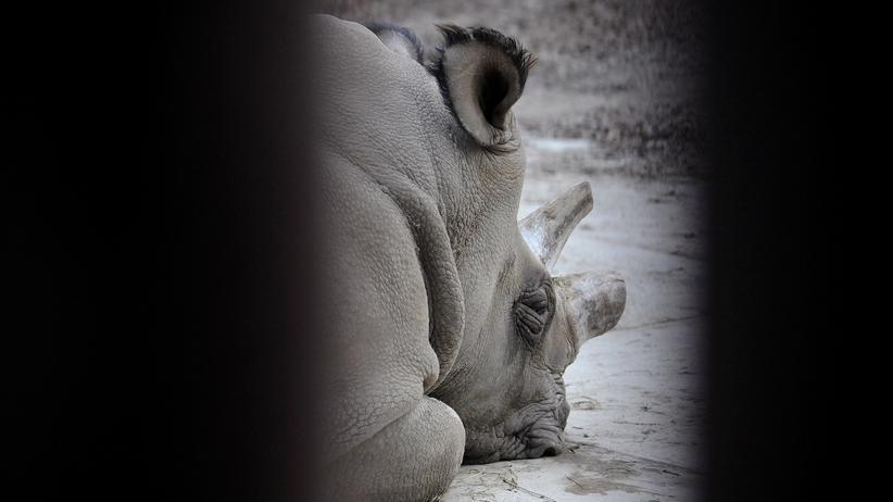Nashorn: Letzter Nördlicher Breitmaulnashornbulle gestorben