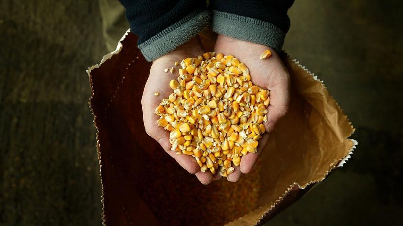 Landwirtschaft: Mais von einem Feld in Großbritannien