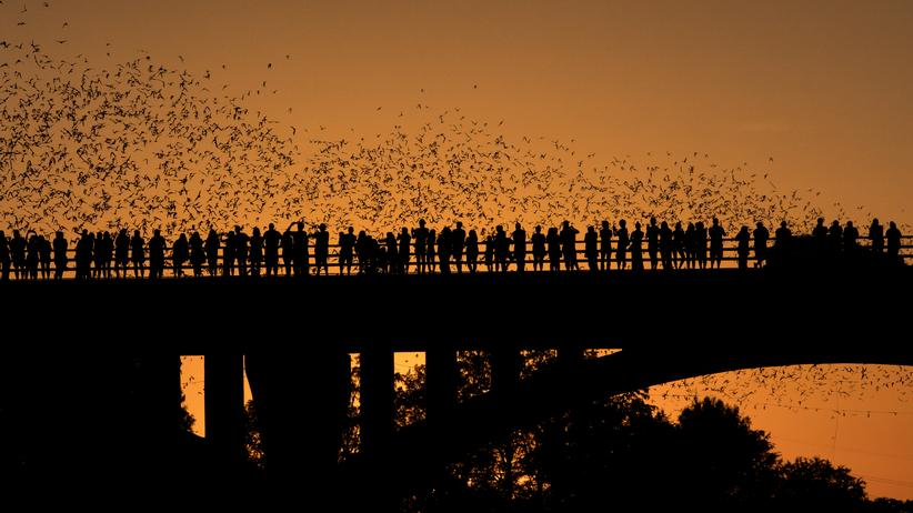 Bats: Tourists watching Brazilian free-tailed bats emerge from the Congress Ave Bridge in Austin, Texas. The colony is considered as the world's largest urban bat colony.