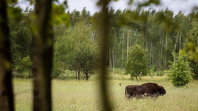 Polen: Auch Europas größtes Landsäugetier hat hier ein Zuhause: Ein Winsent in den Wäldern des Białowieża-Naturschutzgebiets