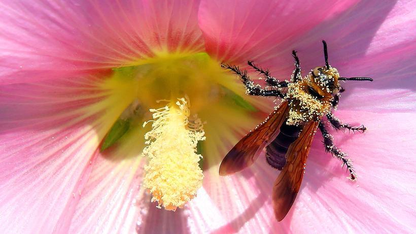 Bienensterben: Eine Biene
