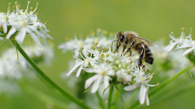 Bienensterben: Eine Honigbiene an Wiesenbärenklau