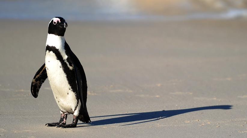 Welt-Pinguin-Tag: Flugunfähigkeit schützt vor Vogelgrippe nicht