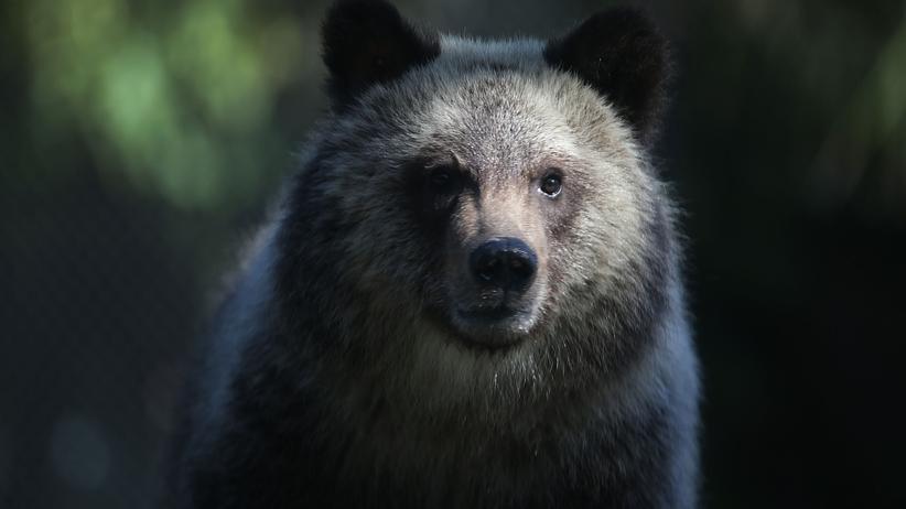Alaska: US-Regierung will Regeln für Bärenjagd lockern