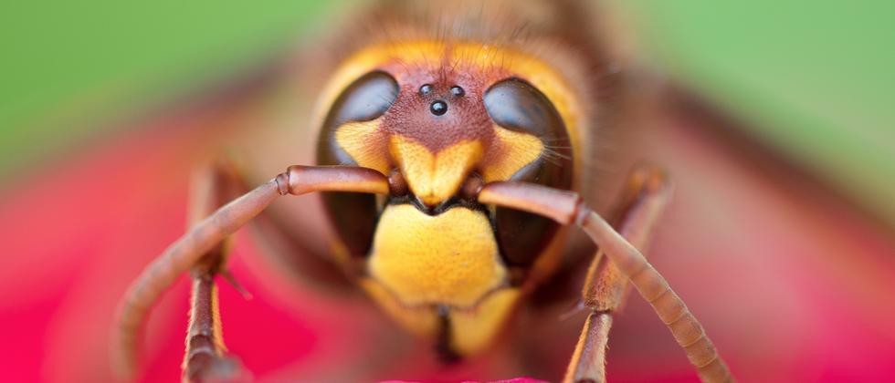 Insektensterben: Bienen sind weltweit bedroht – von Milben und vom Verlust ihres Lebensraumes.