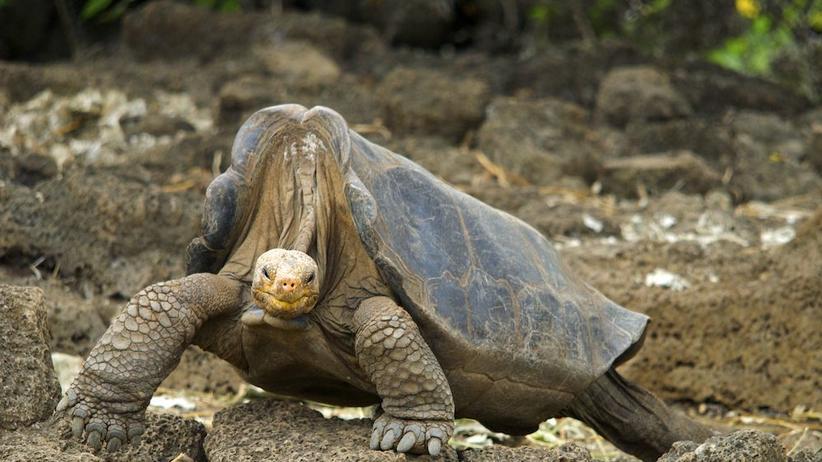 Wie die Schildkröte zu ihrem Panzer kam: Lonesome George tauften Biologen diese Galapagos Schildkröte, die über 100 Jahre alt wurde.
