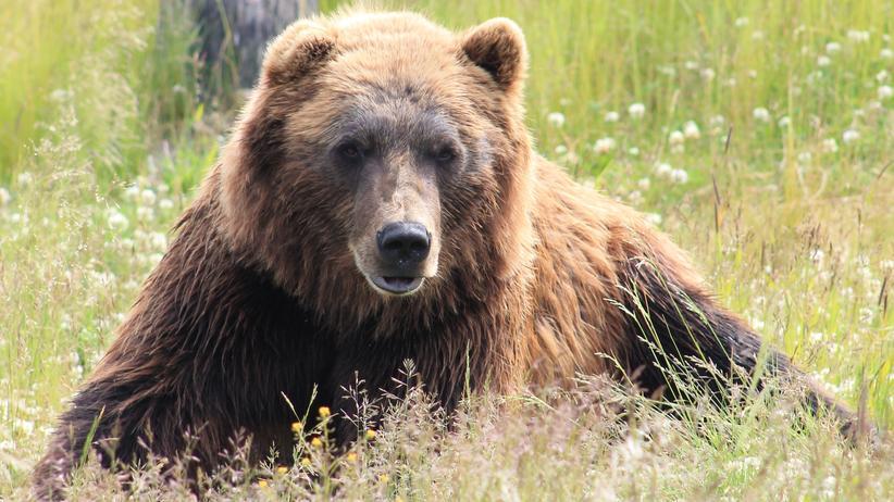 Livestream aus Alaska: Warum die Bären von den Brooks Falls noch immer Lachse jagen