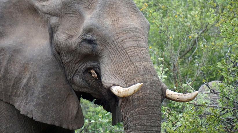 Welttag des Elefanten: Was wissen Sie über Dickhäuter?