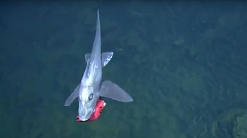 Livevideo von Tiefseeexpedition: Ton aus, Augen auf – staunen