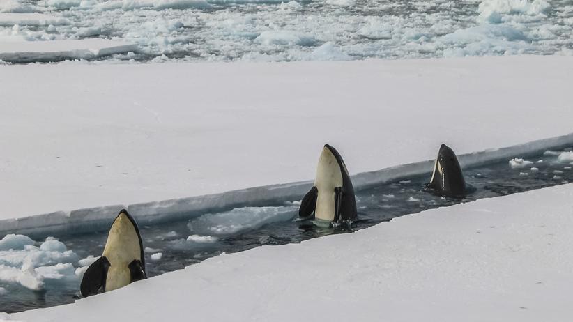 PCB-Schadstoffe: Umweltgift bedroht das Überleben von Schwertwalen