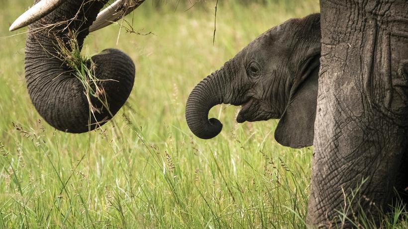 Häufig Elefanten: Falten des afrikanischen Elefanten sind eigentlich MH44