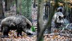Afrikanische Schweinepest: Wildschweine zu töten, stoppt noch keine Seuche