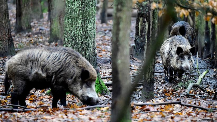Afrikanische Schweinepest: Der Bauernverband hat die Keulung von 70 Prozent aller Wildschweine in Deutschland gefordert.