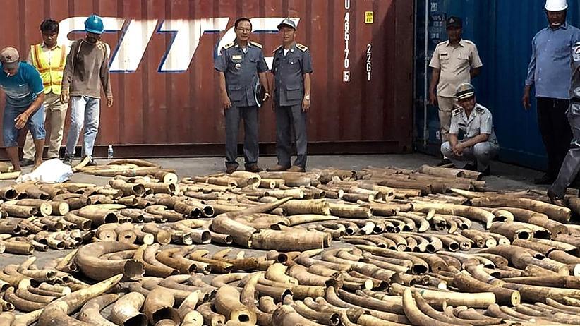 Kambodscha: Mehr als drei Tonnen afrikanisches Elfenbein beschlagnahmt