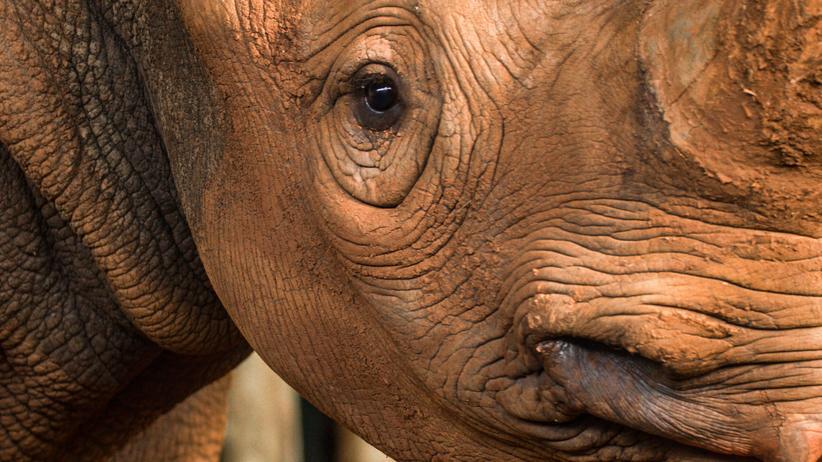 Artenschutz: Von einem Nashorn, das ausflog, seine Art zu retten