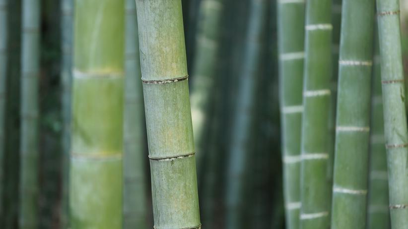 Artenvielfalt: Die Spinne, die im Bambus lebt