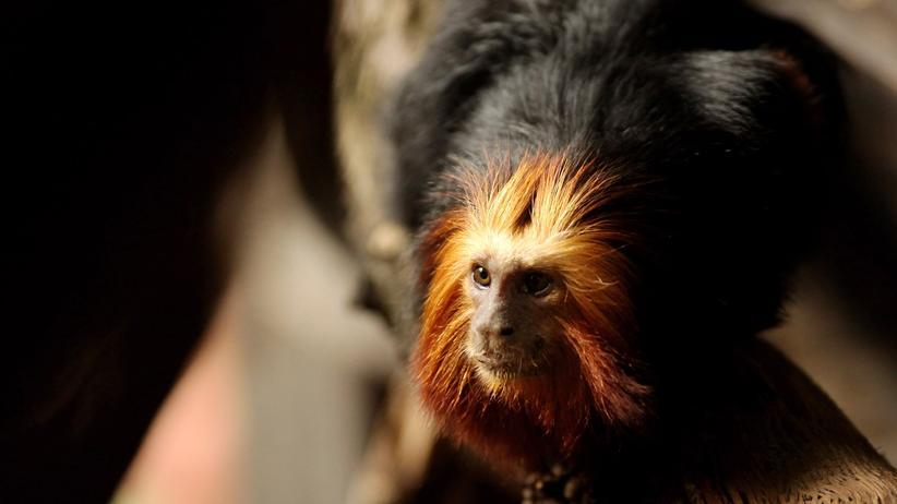 Artensterben: Goldkopflöwenäffchen in einem Zoo in London. Sie gelten als stark gefährdet und kommen in freier Wildbahn nur noch in einem kleinen Gebiet in der südlichen Küstenregion des Bundesstaates Bahia vor.