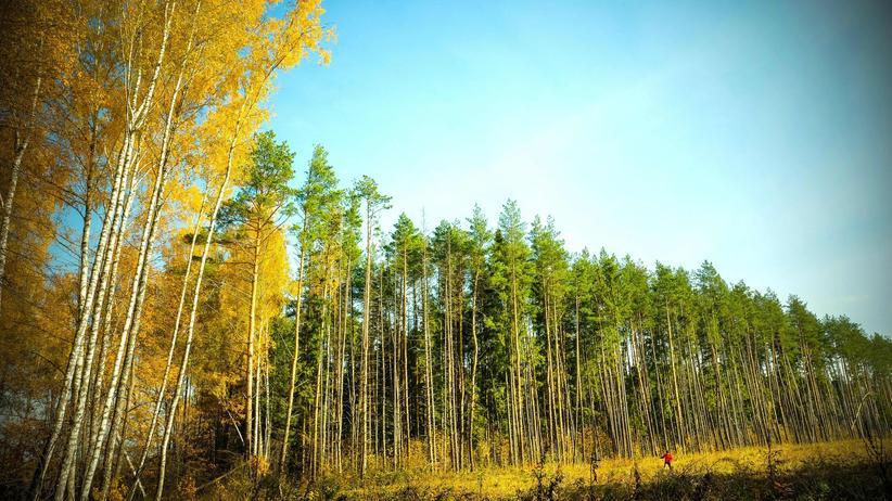 Klimaschutz: Ein Waldgebiet bei Moskau – einer Studie der ETH Zürich zufolge bietet Russland besonders viel Fläche für Aufforstung.