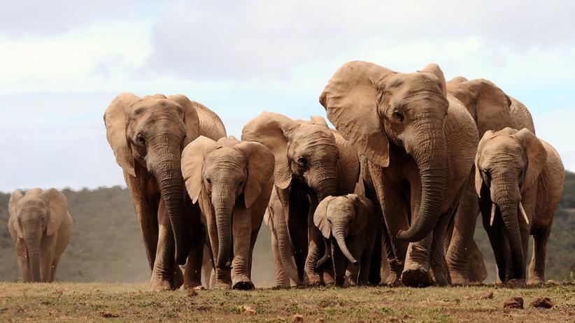 UN-Artenschutzkonferenz: Elefanten im südafrikanischen Addo Elephant National Park