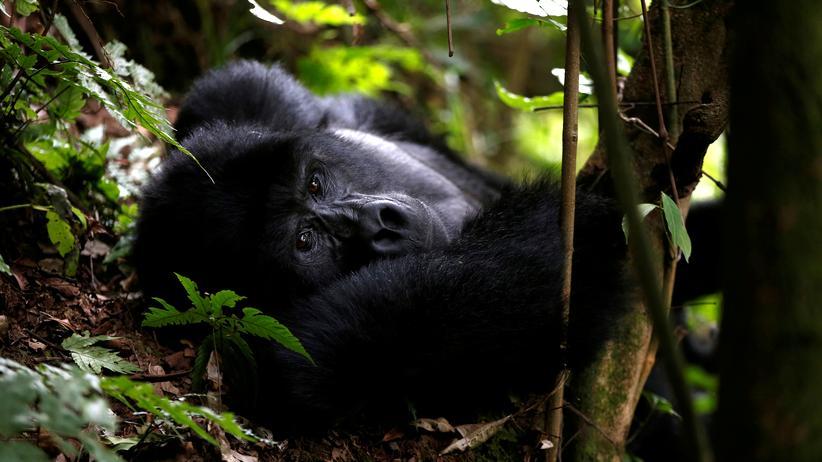 Dank Schutzmaßnahmen erholt sich die Population der Gorillas wieder. Hier ist ein Gorillamännchen im Bwindi National Park in Uganda zu sehen.