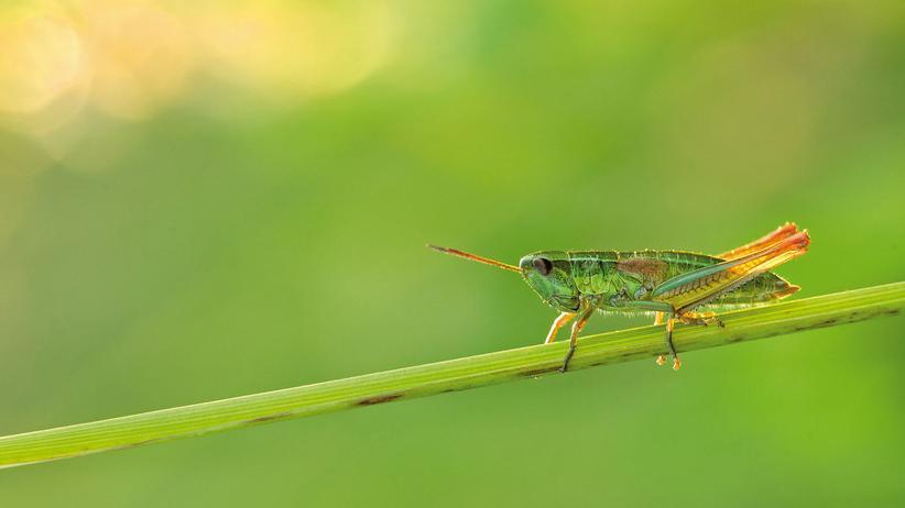 """Insektensterben: Arten wie die Kleine Goldschrecke (""""Chrysochraon dispar"""") – hier auf der Schwäbischen Alb – sind in ihren Beständen zurückgegangen."""