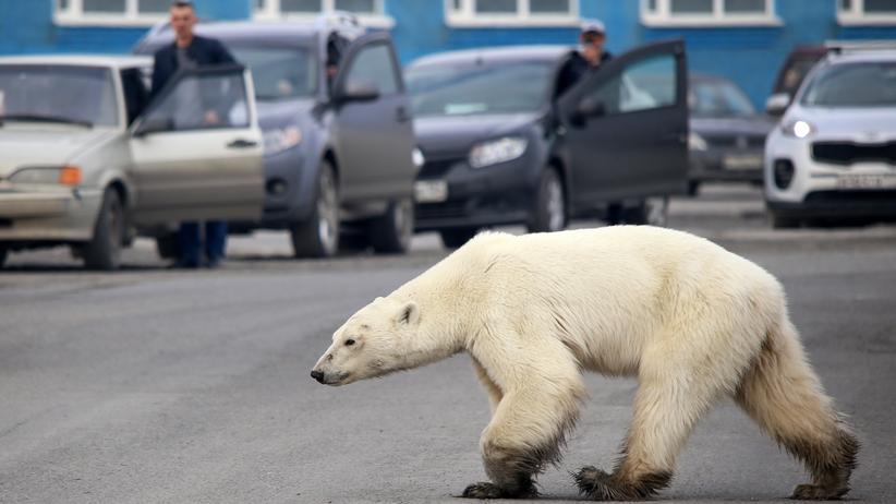 Globale Erwärmung: Ein Eisbär in der russischen Industriestadt Norilsk. Wegen der fortschreitenden Erwärmung in der Arktis schrumpft der Lebensraum von Polarbären erheblich.