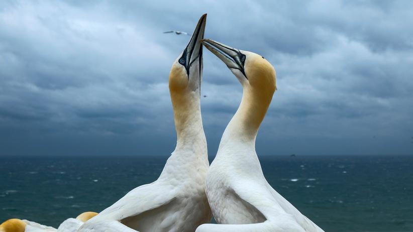 Tiersterben: Zwei Basstölpel auf Helgoland