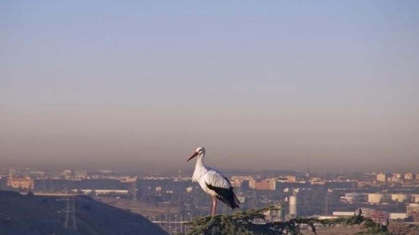 Smog in Madrid: Der Smogwolke über der spanischen Hauptstadt Madrid konnte dieser Storch entfliehen.