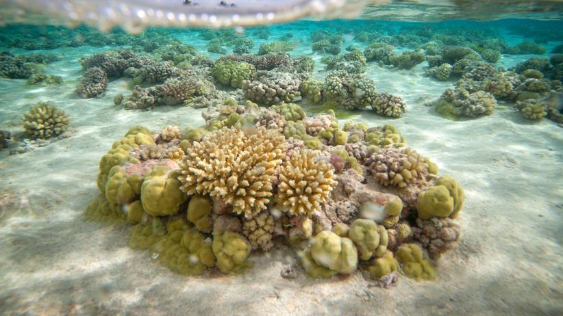Erderwärmung: Korallenriff in der Lagune des Toau-Atolls in Französisch-Polynesien