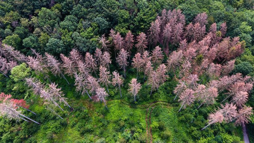 Forstwirtschaft: Von der Dürre im vergangenen Sommer waren etwa die Fichten in deutschen Wäldern betroffen.