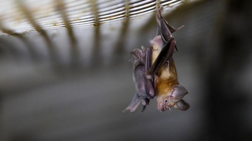 Coronavirus: Kein Grund, Fledermäuse zu verteufeln