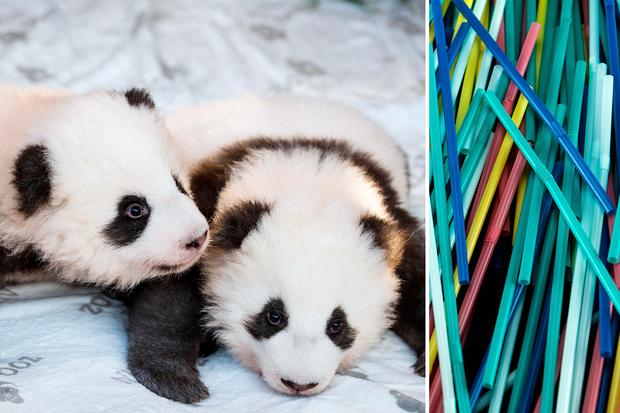 """Gute Nachrichten 2019: The two giant panda cubs """"Meng Yuan"""" (L) and """"Meng Xiang"""" are presented to the media after they were given their names at the Zoologischer Garten zoo in Berlin on December 9, 2019. - It is the first giant panda offspring in Germany: The Berlin panda Meng Meng gave birth to twins on August 31, 2019. On loan from China, Meng Meng and male panda Jiao Qing arrived in Berlin in June 2017. This illustration taken on August 12, 2018, shows plastic straws, in a studio, in Paris. - There are more than eight billion tons of plastic littering the planet -- the lion's share of which is not recyclable -- and plastic production is expected to double in the next two decades according to a study in the journal PLOS ONE. The French government wants to introduce from next year -2019- a bonus-malus system to spread the plastic recycling among consumers,  in the midst of a global regulation of the sector."""