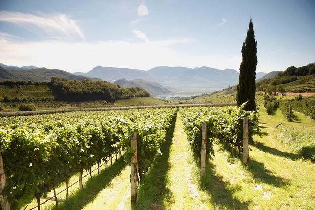 Wein: Weinreben, Kalterer See, Südtirol