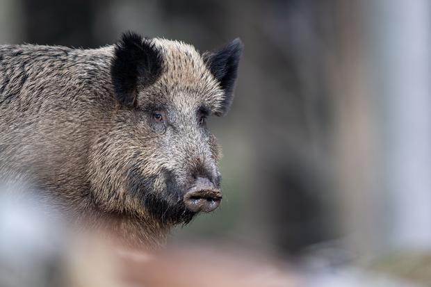 Fleischkonsum: Das ist ein grunz normales Schwein