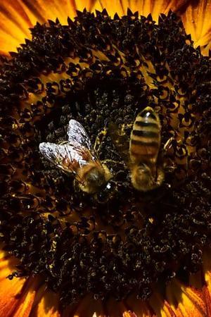Bienen: Biene, Gehinr, Intelligenz, Roboter, Tier, Evolution