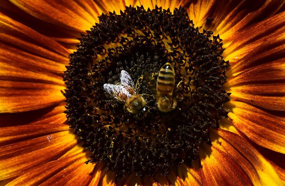 Bienen: Biene, Gehinr, Intelligenz, Roboter, Tier, Evolution
