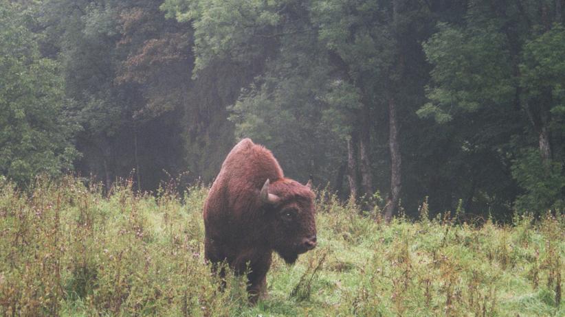 Bayern: Im Wildpark gibt so ein Bison ein gutes Bild ab. Doch wehe, ein fremdes Tier kommt ungebeten über die Grenze