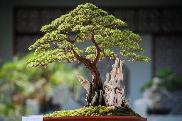 Bonsai-Bäume: Ein alter, stattlicher Baum, nur eben: ganz klein