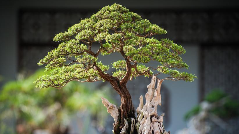 Bonsaibäume sollen beruhigend wirken